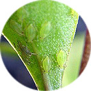 helleborus_orientalis007.jpg