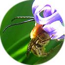 hyacinthus_orientalis001.jpg