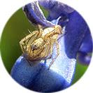 hyacinthus_orientalis002.jpg