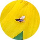 melampodium_paludosum001.jpg