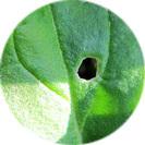 spinacia_oleracea001.jpg