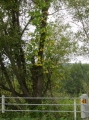 ヤナギの木