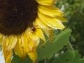 向日葵に蜂