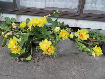 サボテンどっかーんと咲きました
