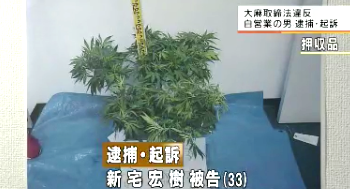 大麻草栽培