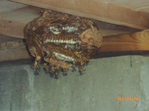 床下のスズメバチの巣