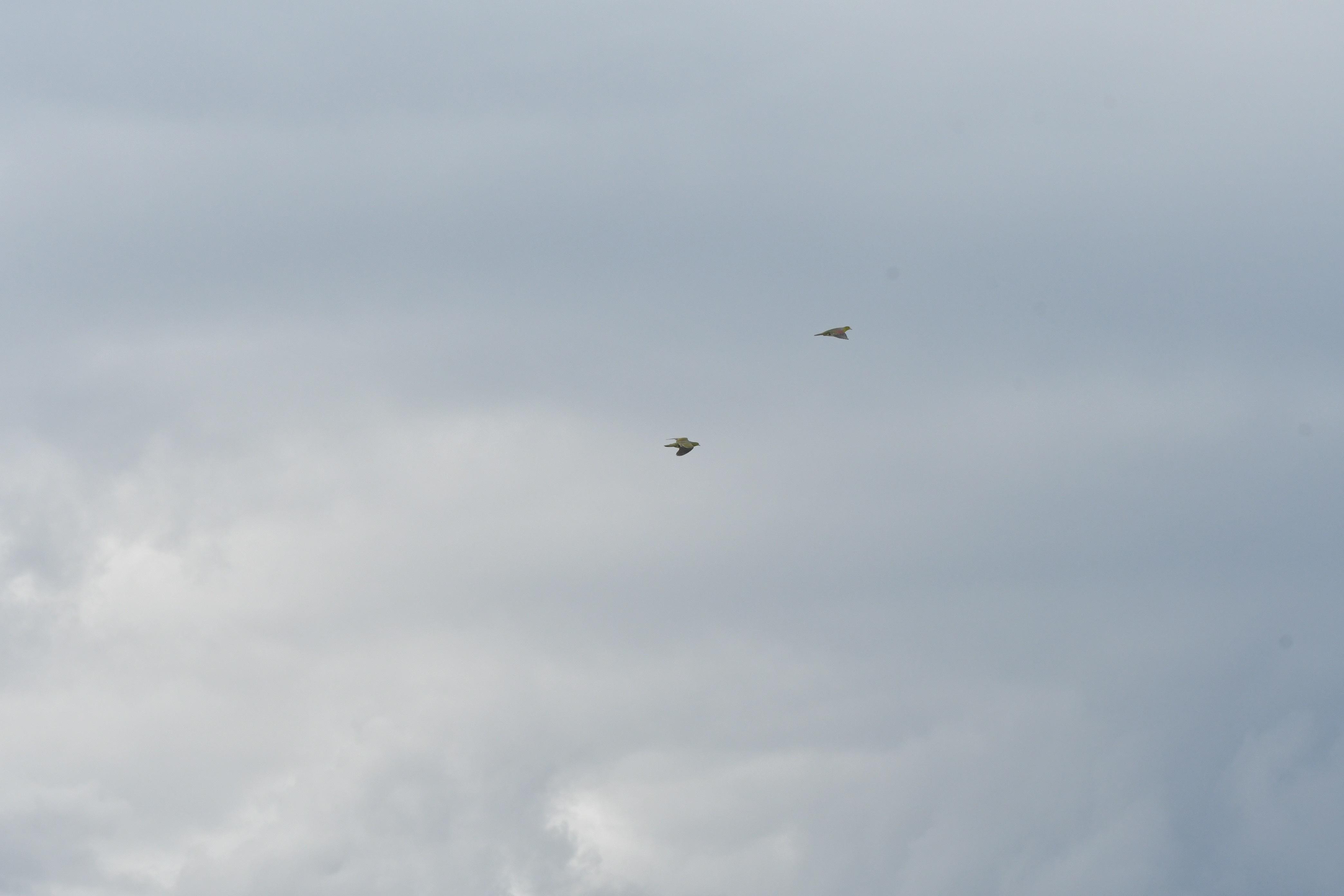 曇り空を飛ぶアオバト