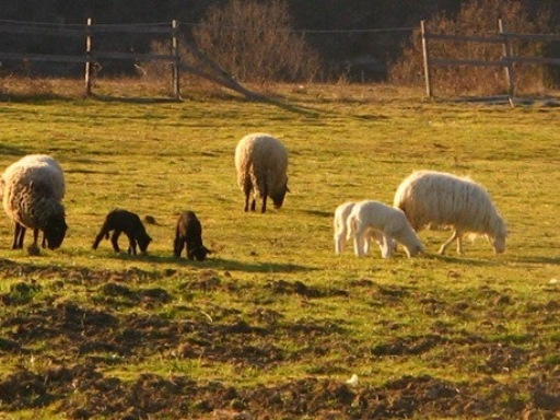pecore_1