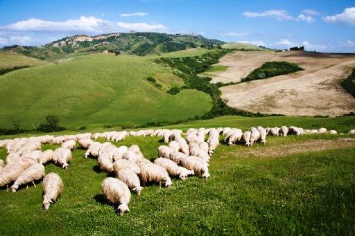 pecore_1a