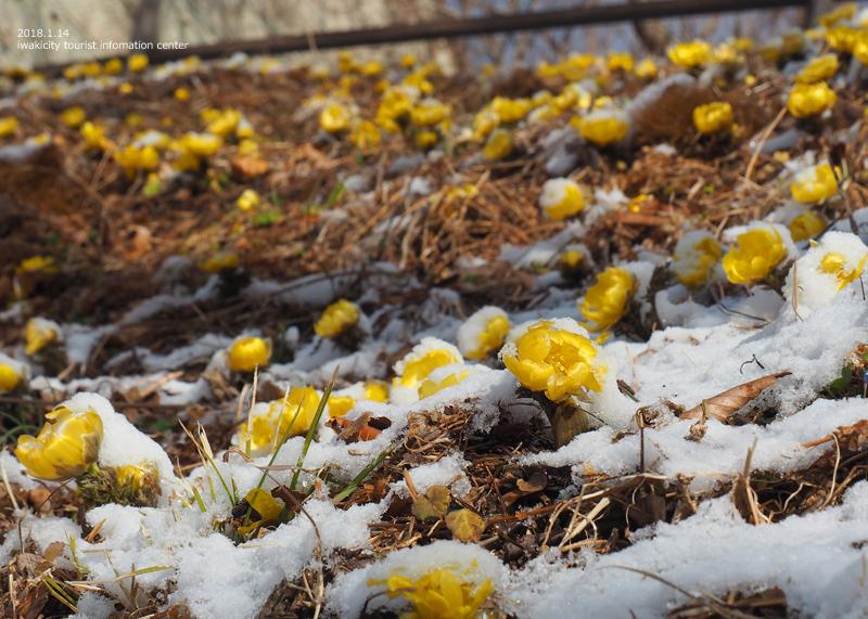 いわき市三和町・福寿草の里 「フクジュソウ」が開花しました! [平成29年1月11日(水)更新]3