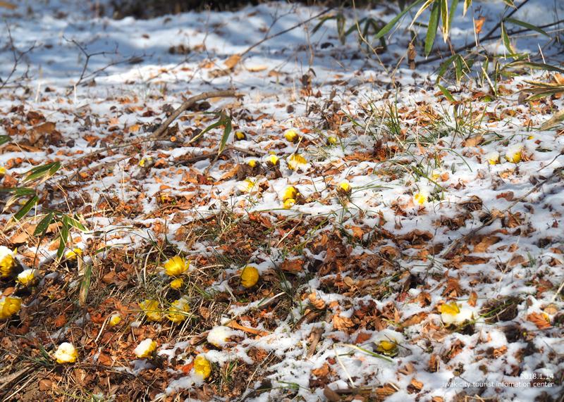 新春を告げる花「フクジュソウ」が開花しました! [平成30年1月14日(日)更新]7