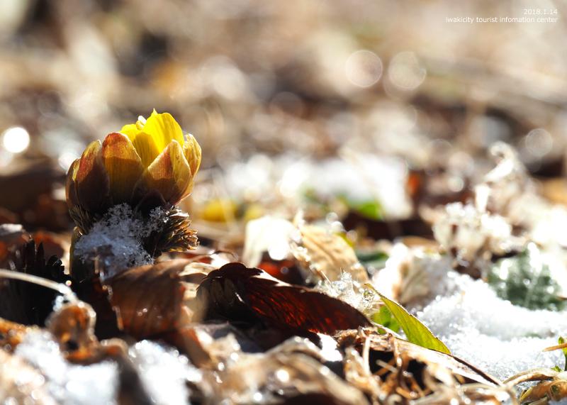 新春を告げる花「フクジュソウ」が開花しました! [平成30年1月14日(日)更新]10