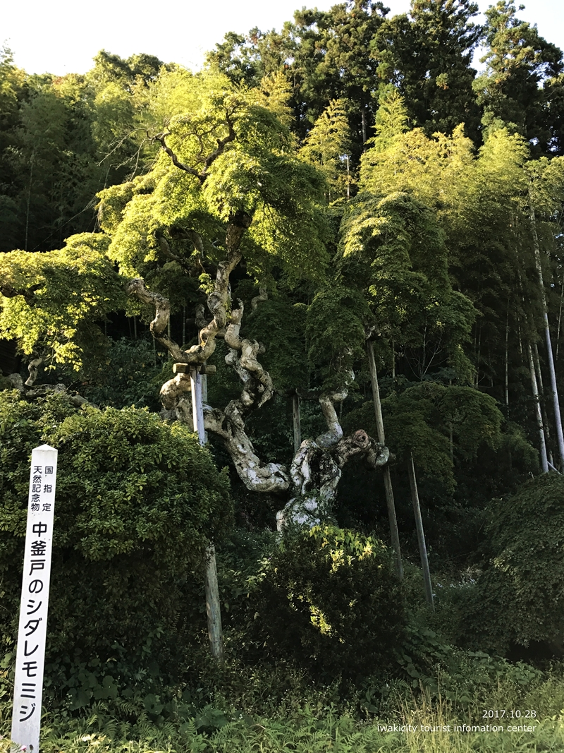紅葉情報2017 国指定天然記念物「中釜戸のシダレモミジ」 [平成29年10月28日(金)更新]4