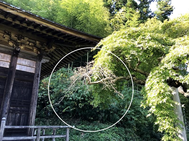 紅葉情報2017 国指定天然記念物「中釜戸のシダレモミジ」 [平成29年10月28日(金)更新]6