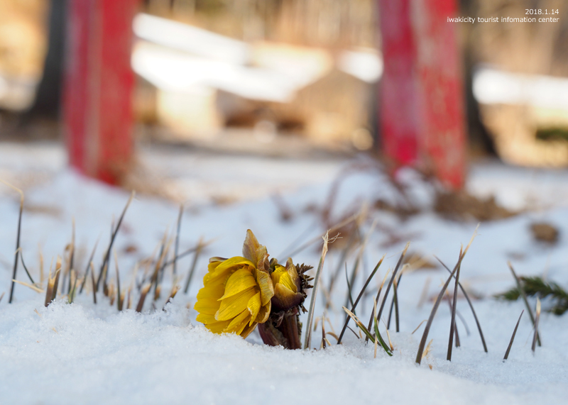 新春を告げる花「フクジュソウ」が開花しました! [平成30年1月14日(日)更新]13