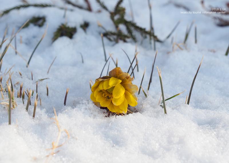 新春を告げる花「フクジュソウ」が開花しました! [平成30年1月14日(日)更新]14