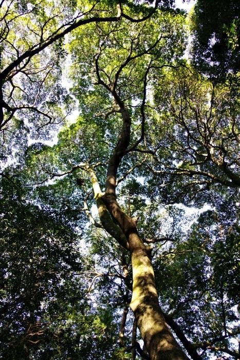 長者ヶ森の巨樹達