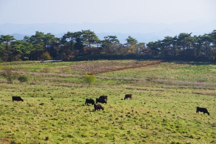 羅漢高原の牛達