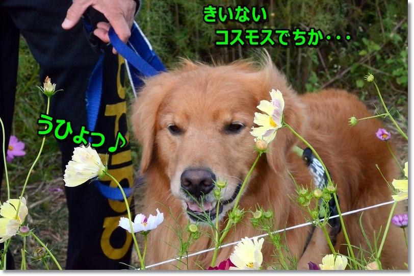 DSC_1505kiきいないコスモス?