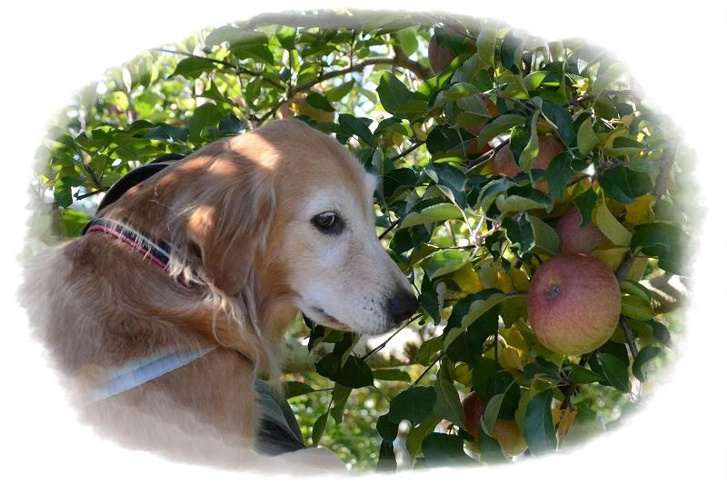DSC_2215 ヴィヴィとリンゴ