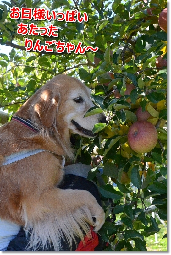 DSC_2219お日様がい杯当たったリンゴがいいでしゅ