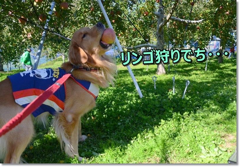 DSC_2231蘭丸のリンゴ狩り