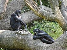 220px-Bonobo-04.jpg