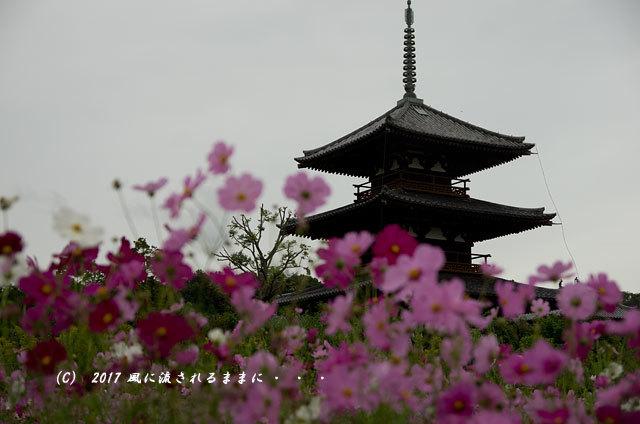 奈良・法起寺 コスモス 2017年10月14日撮影3