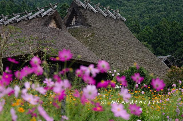 和の情景 京都・美山町 かやぶきの里 コスモスの花編10
