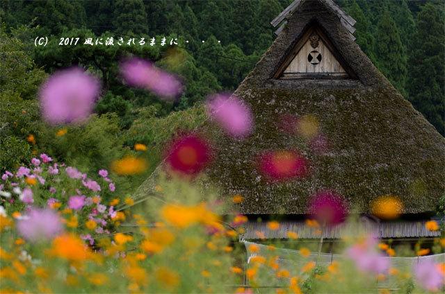 和の情景 京都・美山町 かやぶきの里 コスモスの花編11