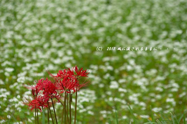 和の情景 京都・美山町 かやぶきの里 蕎麦の花編13