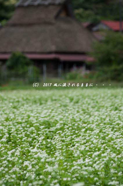 和の情景 京都・美山町 かやぶきの里 蕎麦の花編3