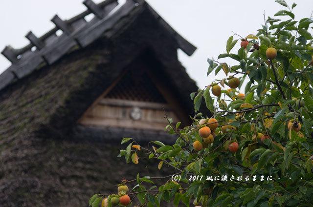 和の情景 京都・美山町 かやぶきの里 コスモスの花編7