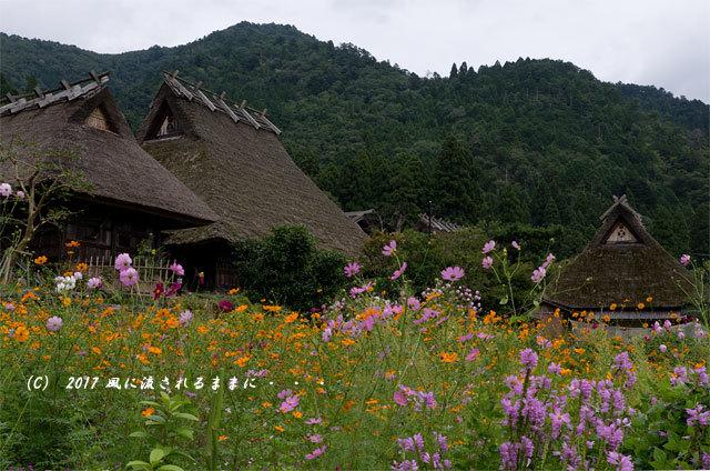 和の情景 京都・美山町 かやぶきの里 コスモスの花編12