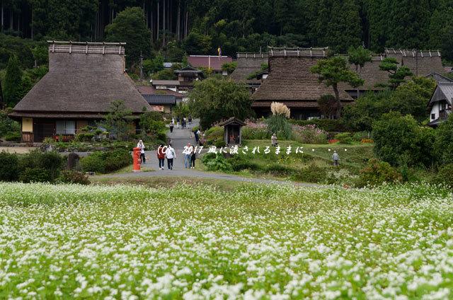 和の情景 京都・美山町 かやぶきの里 蕎麦の花編5