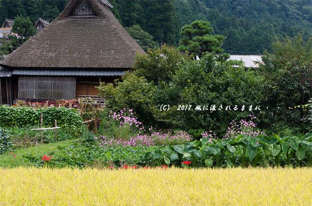 和の情景 京都・美山町 かやぶきの里 コスモスの花編6