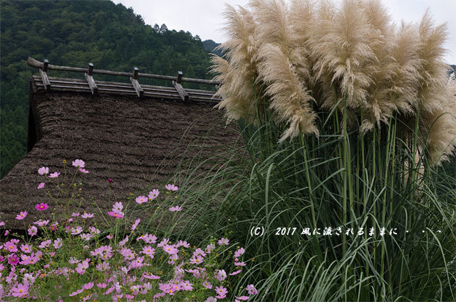 和の情景 京都・美山町 かやぶきの里 コスモスの花編8