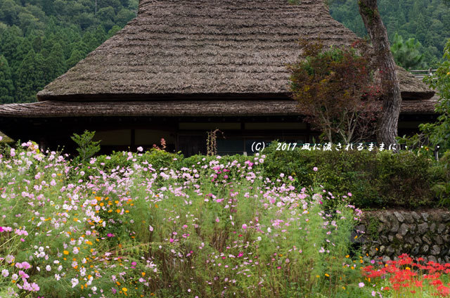 和の情景 京都・美山町 かやぶきの里 コスモスの花編9