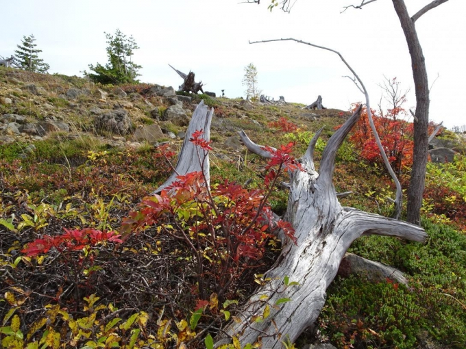 立ち枯れの木が多い