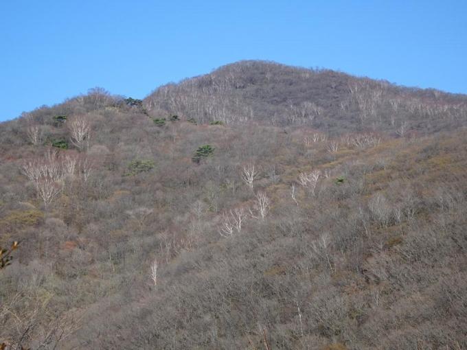 荒山、ダケカンバの幹が白い