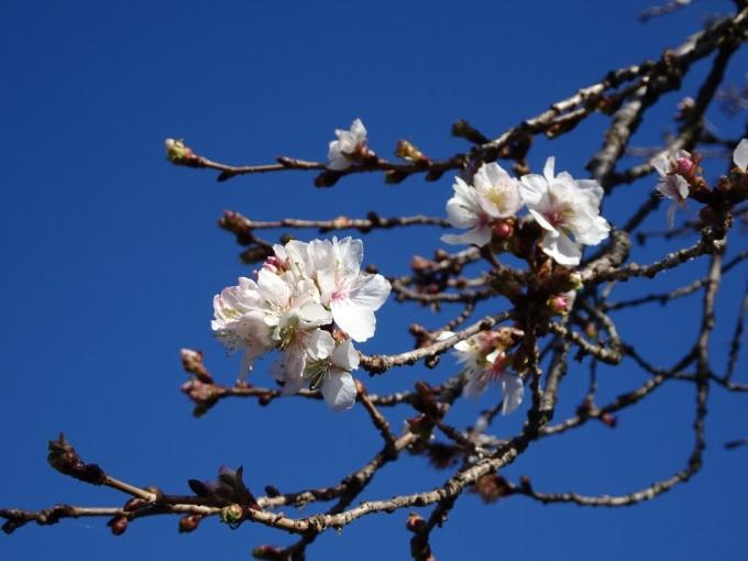 青空に冬桜