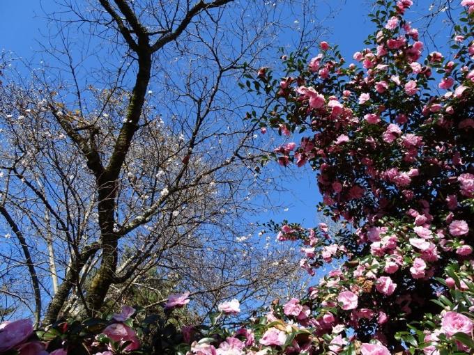 山茶花と冬桜