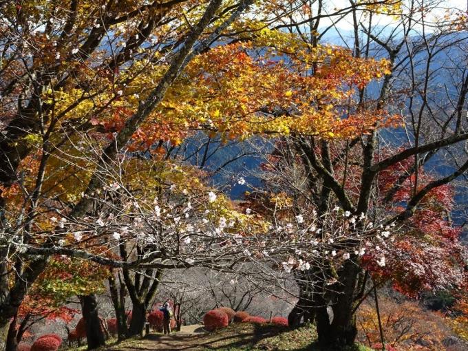 冬桜ともみじ