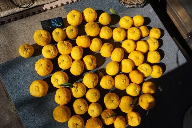 我が家の柚子
