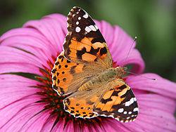 250px-0_Belle-dame_(Vanessa_cardui)_-_Echinacea_purpurea_-_Havré_(3)