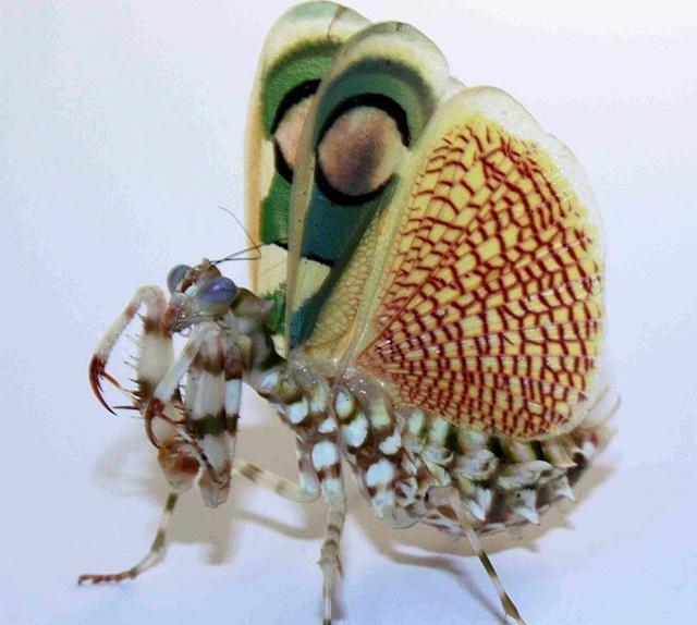 Chlidonoptera-drohend-2.jpg