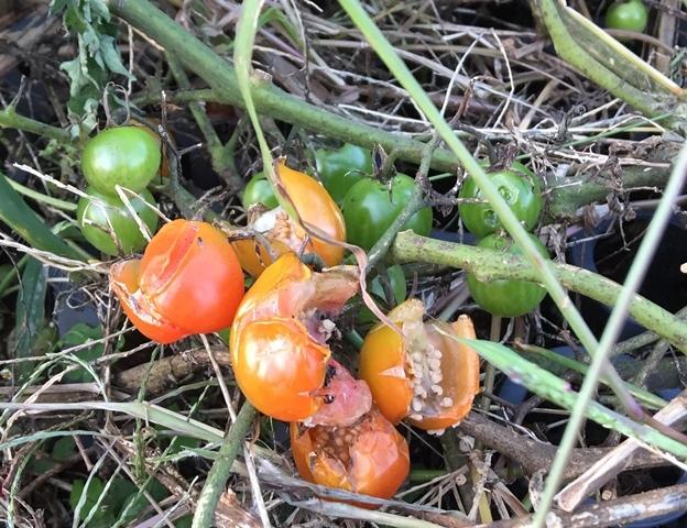 雨に打たれたミニトマト