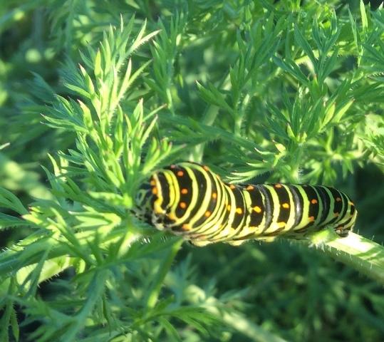 人参の葉を食べるアゲハの幼虫