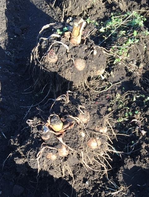掘り出したサトイモ