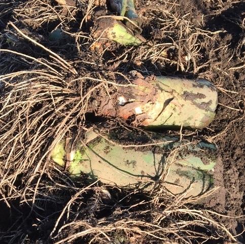 掘り出したタケノコ芋